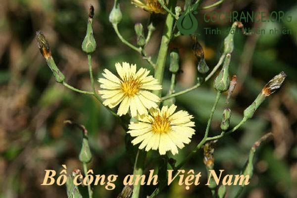 Minh họa: Bồ công anh Việt Nam