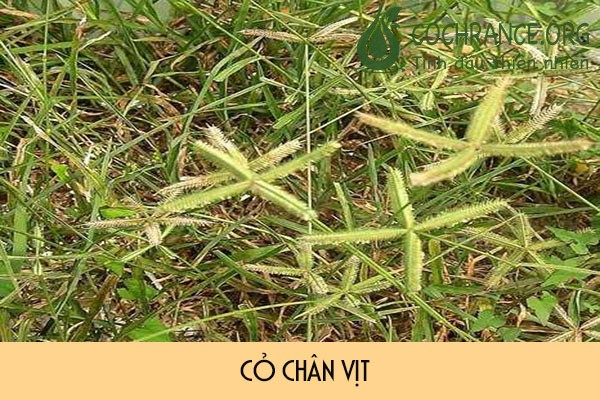 Phân biệt cỏ chân vịt và cỏ mần trầu