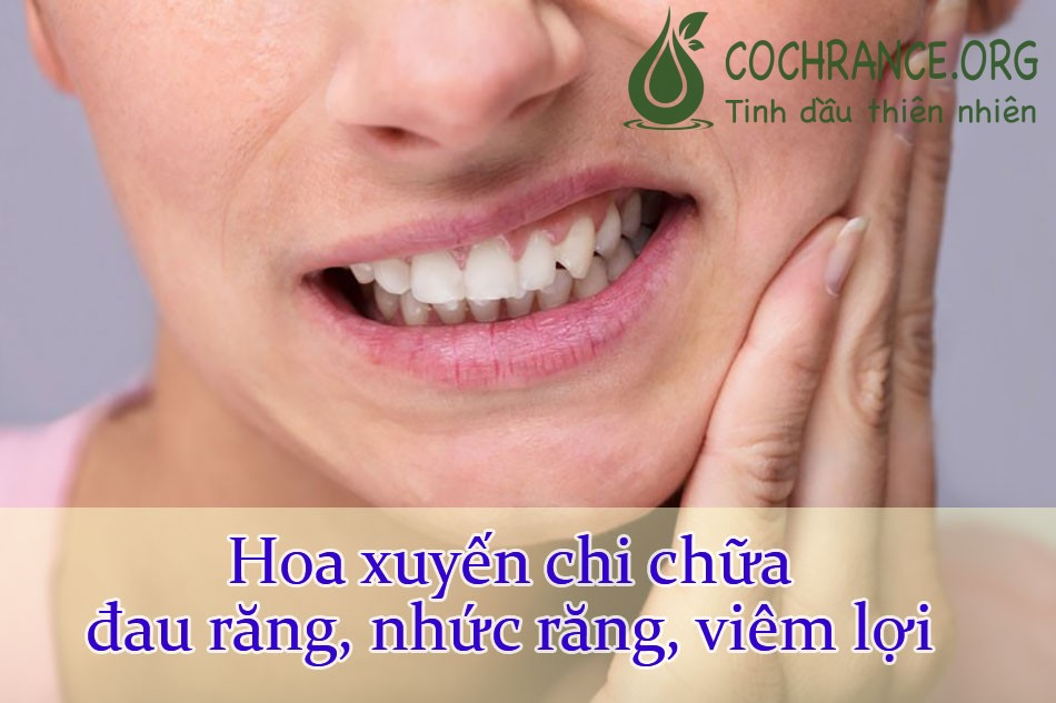 Hoa xuyến chichữa đau răng, nhức răng, viêm lợi