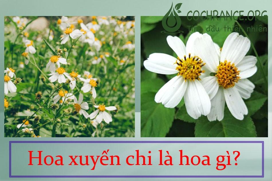 Hoa xuyến chi là hoa gì?